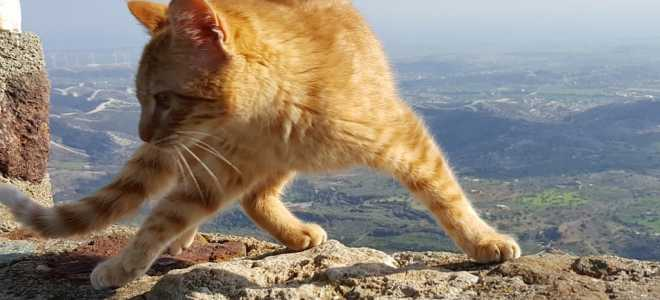 История кипрских кошек