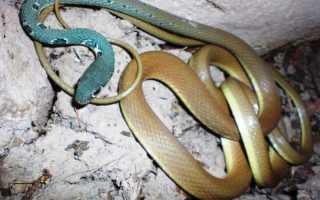Какие змеи водятся на Кипре
