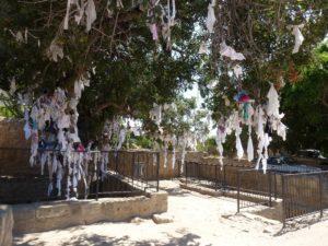 Древнее фисташковое дерево