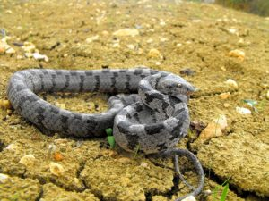 Кошачья змея (бойга)